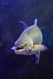Garrick fish Stock Photo