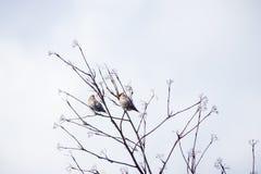 Garrulus Bombycilla στο δέντρο Στοκ Εικόνα