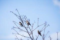 Garrulus Bombycilla на дереве Стоковые Фото