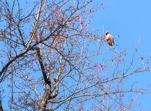 Garrulus Bombycilla, waxwings Πουλιά ενάντια στον ουρανό Στοκ εικόνες με δικαίωμα ελεύθερης χρήσης