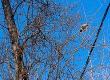 Garrulus Bombycilla, waxwings Πουλιά ενάντια στον ουρανό Στοκ Εικόνα
