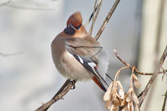 Garrulus Bombycilla Waxwings воробьинообразной птицы Стоковая Фотография RF