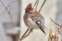 Garrulus Bombycilla Waxwings Songbird Στοκ Εικόνες