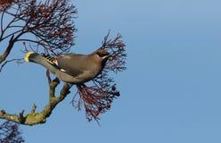 Garrulus di Bombycilla del Waxwing che si alimenta le bacche di sorbo fotografia stock libera da diritti