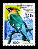 Garrulus di Bombycilla del Waxwing della Boemia, serie degli uccelli, circa 1997 Immagini Stock Libere da Diritti