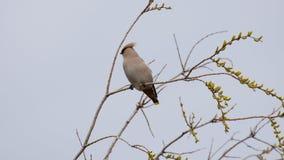 Garrulus di Bombycilla dell'uccello canoro fotografia stock libera da diritti