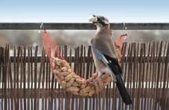 Garrulus glandarius, Eurasier Jay, der Oberteilerdnüsse isst stockfoto