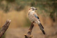 Jay, Garrulus glandarius. Colorful bird stock photo