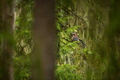 Garrulus glandarius. Mid-sized bird. Finnish nature. Karelia in Finland. Bird on the tree stock photo