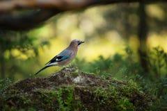 Garrulus glandarius. Mid-sized bird. Finnish nature. Karelia in Finland. Bird on the tree royalty free stock images