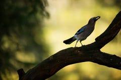 Garrulus glandarius. Mid-sized bird. Finnish nature. Karelia in Finland. Bird on the tree stock photos