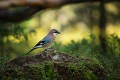 Garrulus glandarius. Mid-sized bird. Finnish nature. Karelia in Finland. Bird on the tree stock image