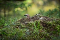 Garrulus glandarius. Mid-sized bird. Finnish nature. Karelia in Finland. Bird on the tree stock photography