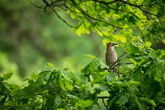 Garrulus glandarius. The wild nature of the Czech Republic. Free nature. Picture of a bird in nature. Beautiful picture. Bird in t. He woods. Deep forest stock image