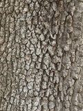Garry Oak Bark. A close up photograph of the bark of a Garry Oak Tree in southern British Columbia Royalty Free Stock Photos