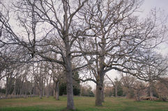 Garry oak branches stock images