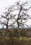 Garry Oak branches Royalty Free Stock Image