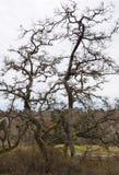 Garry Oak Branches