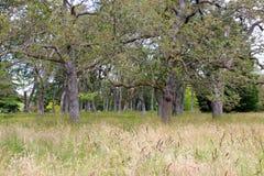 Garry oak meadow in Victoria, British Columbia, Canada. A native Garry oak meadow in Beacon Hill Park in Victoria, British Columbia, Canada. The Garry oak, or Stock Images