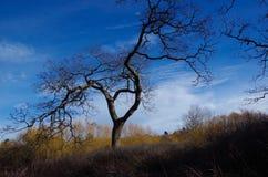 Garry Oak och blåttvinterhimmel Fotografering för Bildbyråer