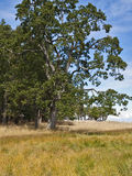 Garry Oak Tree. A very old Garry Oak Tree on a remote island in southern British Columbia Stock Photos