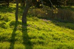 Garry Oaks växer i en äng bland de camas liljorna i Beacon Hill parkerar Arkivfoto