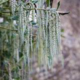 Garrya elliptica长的柔滑的柔荑花灌木 免版税库存照片