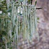 Garrya elliptica long silky catkins shrub. Garrya elliptica - Silk tassel - James Roof long silky catkins shrub royalty free stock photos