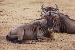 łgarska wildebeest rodzina Obrazy Royalty Free