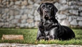 Łgarski czarny labrador w ogródzie Obraz Royalty Free
