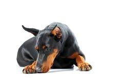 Łgarski dobermann pinscher patrzeje smutny Fotografia Stock