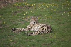 Łgarski gepard Zdjęcie Royalty Free