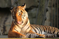 Łgarski tygrys Obrazy Royalty Free