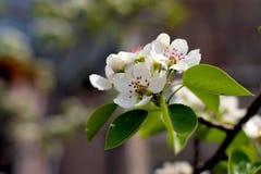 Garten-Apple-Blüte lizenzfreie stockfotos