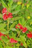 Garten-Balsam - rote Blumen Lizenzfreie Stockfotos