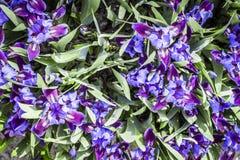 Garten blüht Iris Lizenzfreie Stockfotos