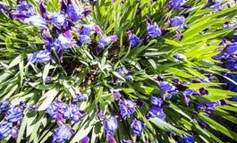 Garten blüht Iris Lizenzfreie Stockbilder