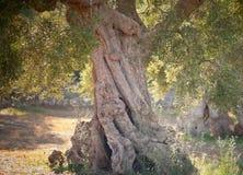 Garten der alten Olivenbäume Lizenzfreies Stockbild