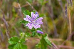 Garten der Blume der allgemeinen Malve im Frühjahr am regnerischen Wetter lizenzfreie stockfotografie