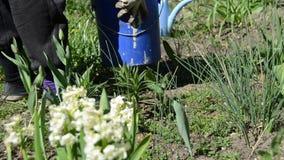 Garten der Gärtnersäubern-Blumenbeete im Frühjahr stock footage