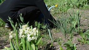 Garten der Gärtnersäubern-Blumenbeete im Frühjahr stock video