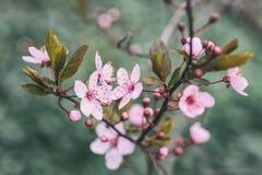 Garten der Kirschblüte im Frühjahr lizenzfreies stockbild
