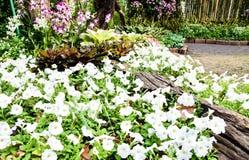 Garten der Petunie Stockbilder