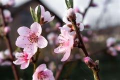 Garten der Pfirsichbaum-Knospe im Frühjahr Lizenzfreie Stockbilder