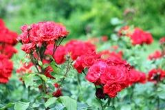 Garten der roten Rosen Stockfoto