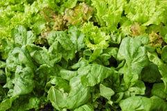 Garten der Spinat-und Blatt-Kopfsalat-Anlagen Lizenzfreie Stockbilder