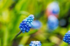 Garten der Traubenhyazinthe im Frühjahr stockbild