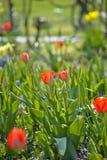Garten der Tulpen im Früjahr Stockbild