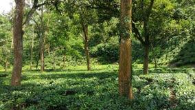 Garten des grünen Tees Stockbilder