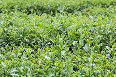 Garten des grünen Tees auf dem Hügel Lizenzfreie Stockfotografie